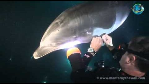 Injured Dolphin Approaches Diver For Help